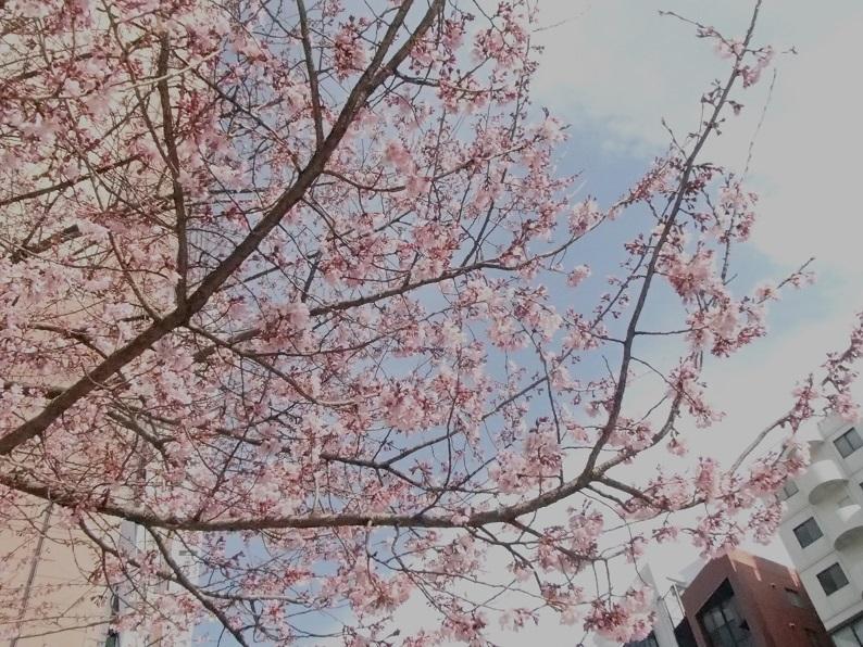 2017 3 23 まつやの前の桜 ブログ用.jpg