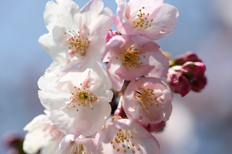 2017 3 30 小学校の桜 ブログ用.jpg