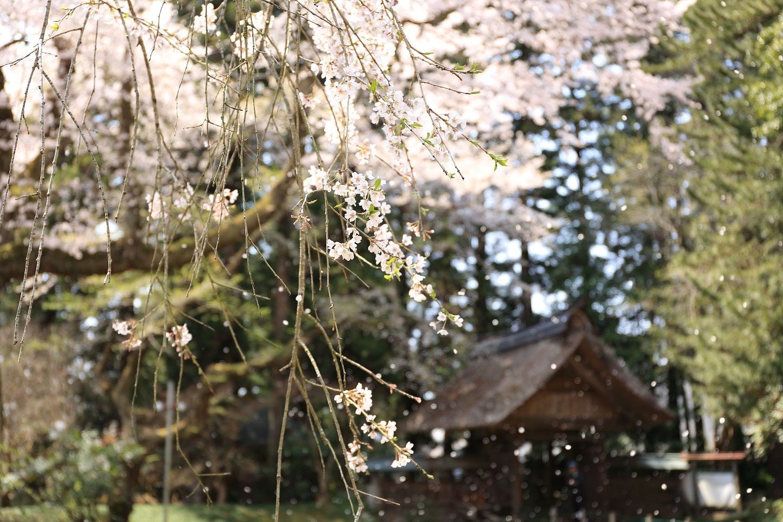2017 4 14 西行桜舞う ブログ用