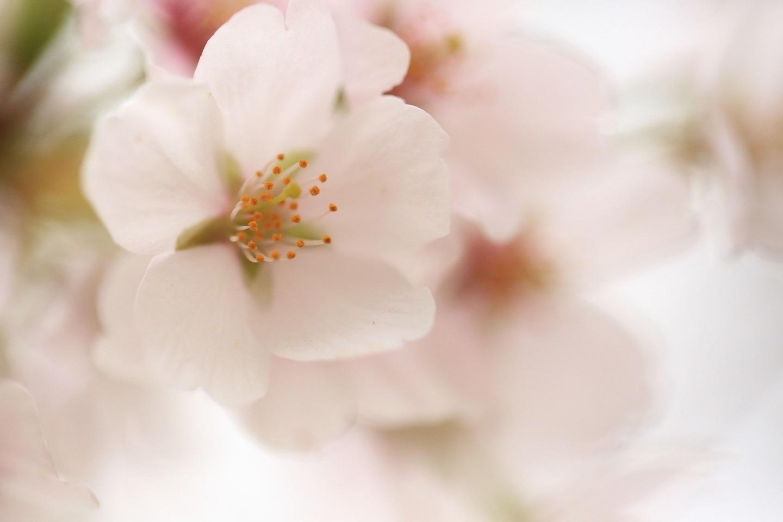 2017 4 17 桜の花びら ブログ用.jpg