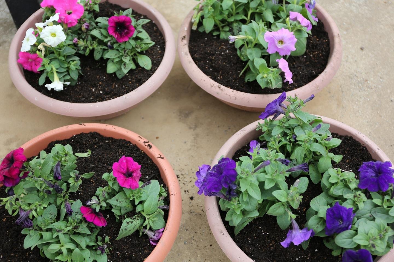 ペチュニアの鉢植え ブログ用.jpg