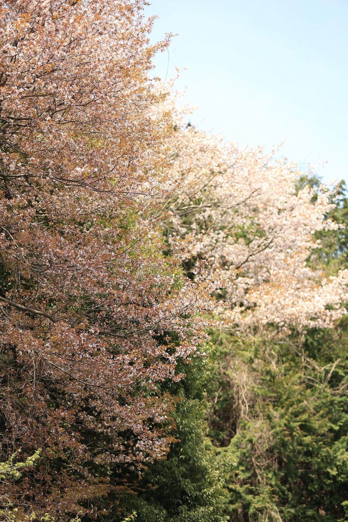 2017 4 20咲き乱れる山桜 ブログ用.jpg
