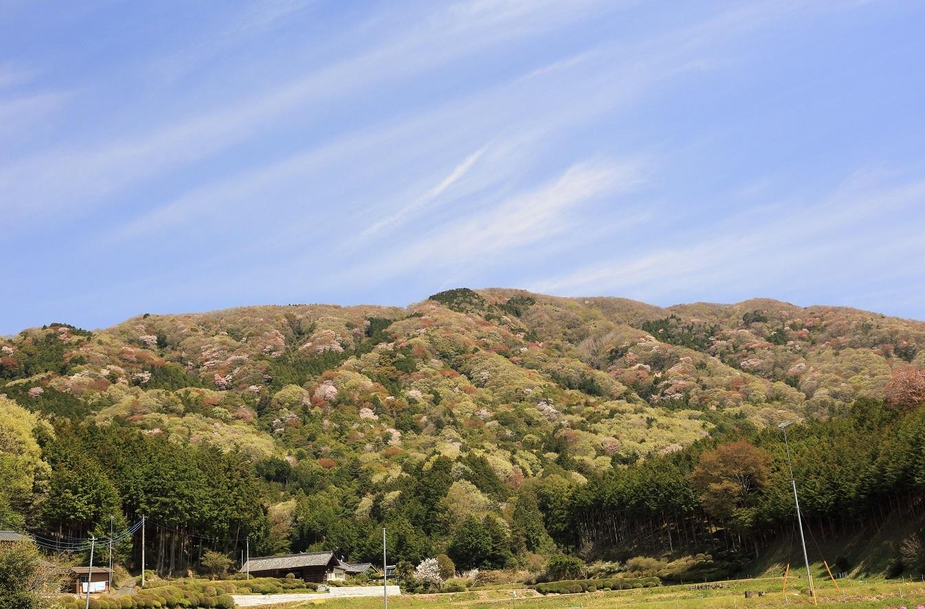 2017 4 20 優しい桜柔らかな雲と空 ブログ用.jpg