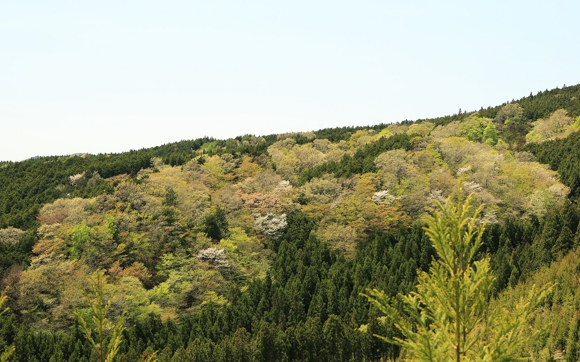 2017 5 2 萌黄色の山.jpg