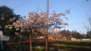 20170430 庭の桜