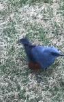 首里城青い鳥2