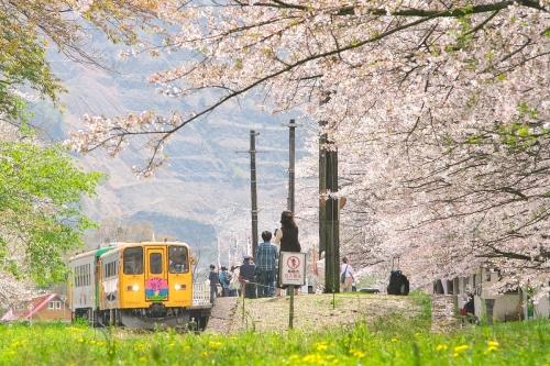 IMG_2979 桜タンポポ