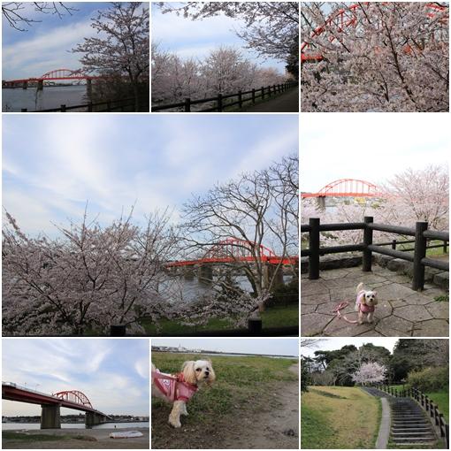 赤い橋桜見学2017 4月