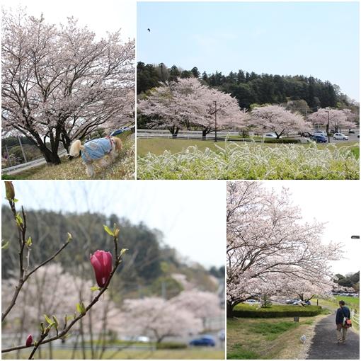 桜山2017 4月15日