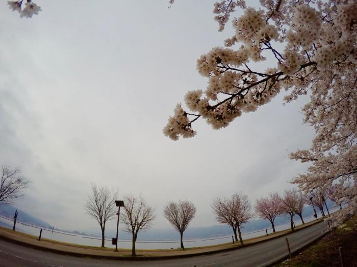 花見ラン0422_諏訪湖と桜