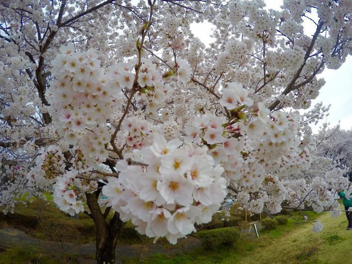 花見ラン0422_満開桜の花びら