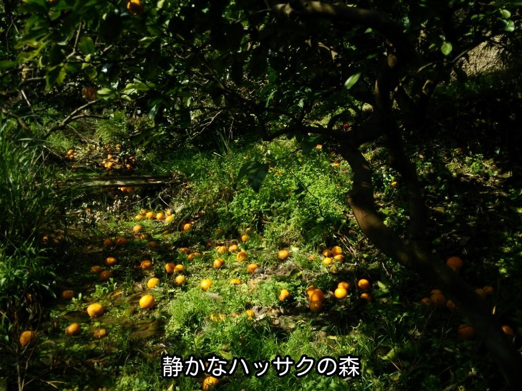 静かなハッサクの森