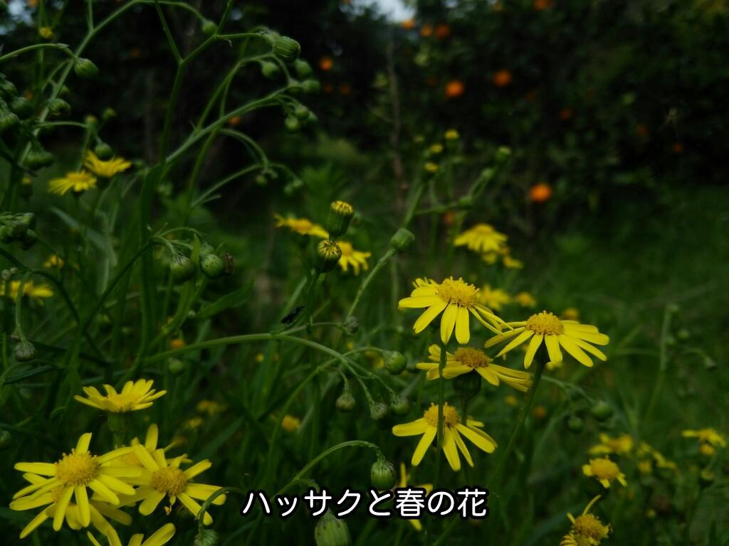 さつきハッサクと春の花