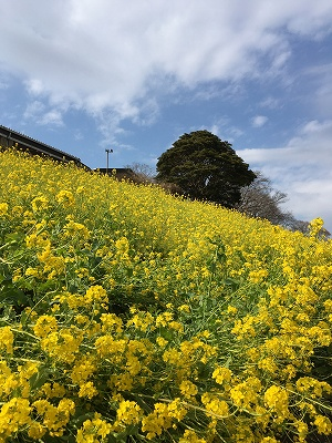 s-菜の花の丘
