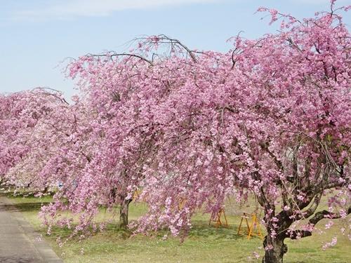 枝垂れ桜の公園で♪