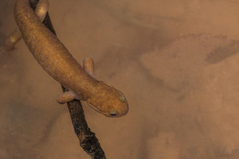 トウキョウサンショウウオ Hynobius tokyoensis