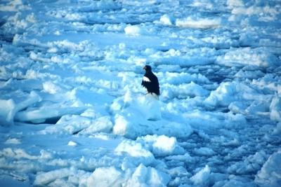 流氷上に乗るオジロワシの姿