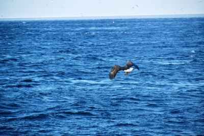魚を捕らえて飛んでいくオオワシ