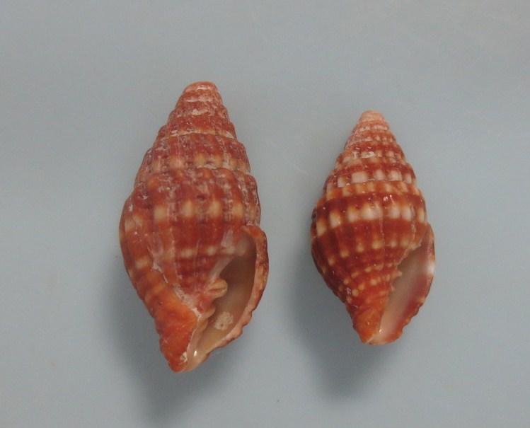 ホソミヨリオトメ