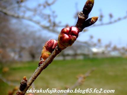 0328桜4