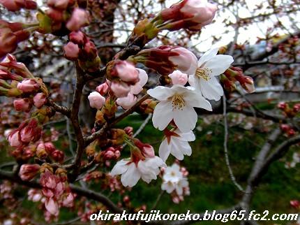 0331桜3