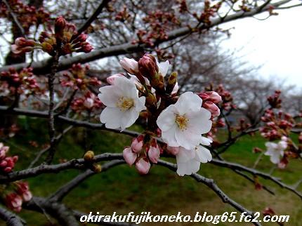 0331桜4