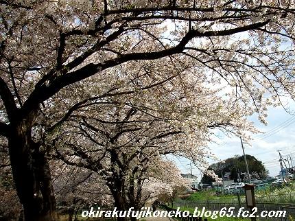 0413桜5