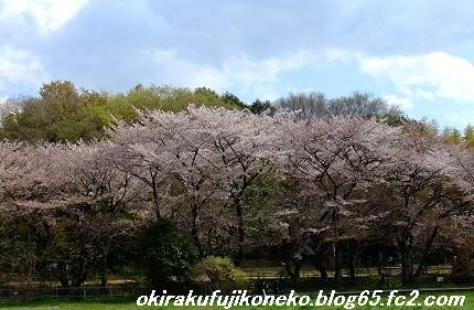 0413桜1