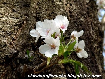 0413桜8