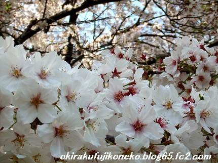 0413桜6