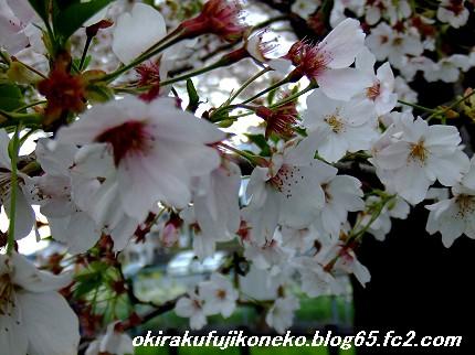 0413桜7