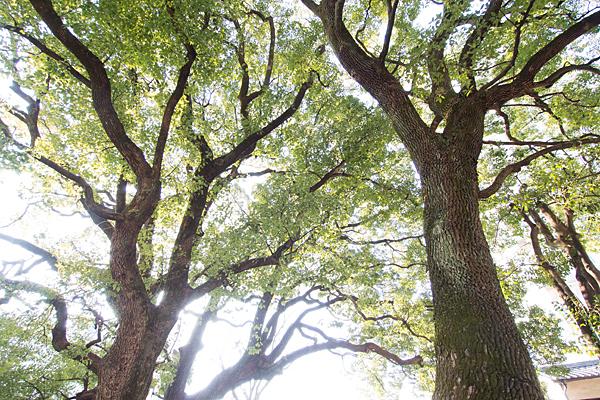 境内の巨木