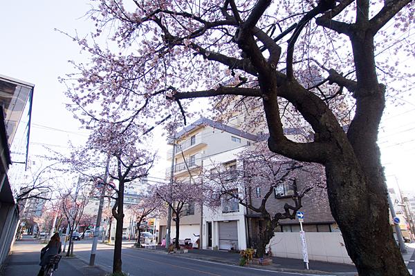 高岳早咲き桜と日常風景