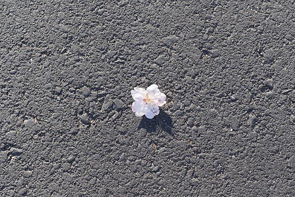 地面で咲く桜