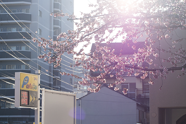 大寒桜と逆光
