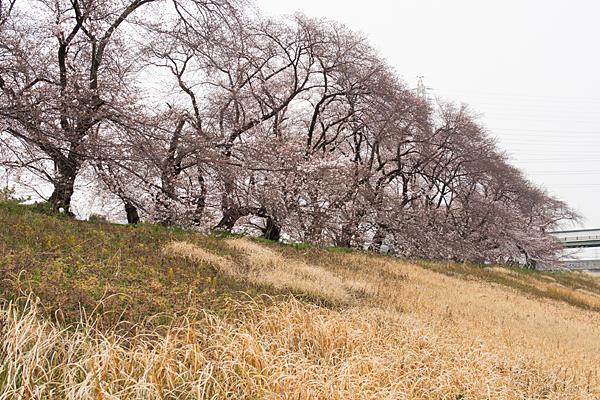 洗堰力との桜並木
