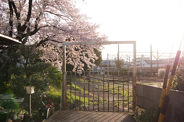 喜多山駅近くの桜