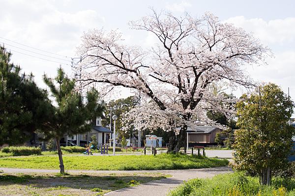 河戸公園の桜