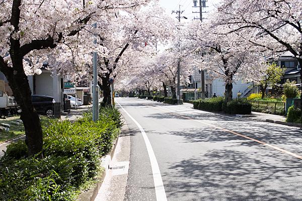 雨池南の桜並木
