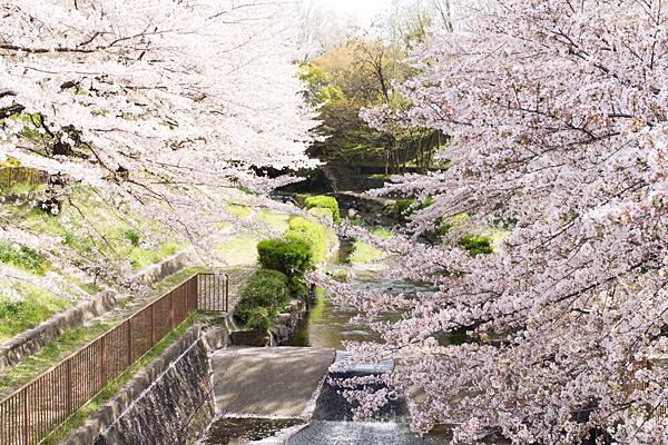 白沢渓谷の桜