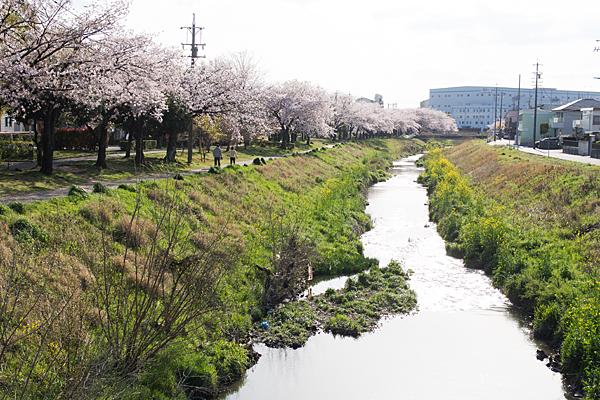 八田川と桜