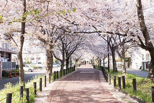 水道道奥の桜