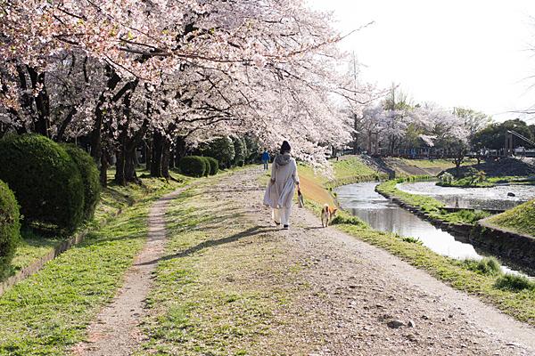 三つ叉公園近くの桜