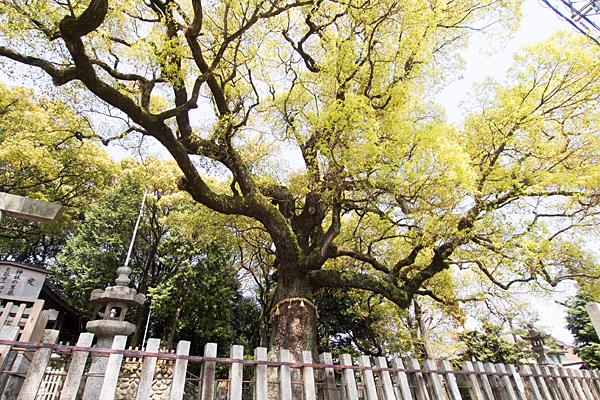 星宮社御神木の楠
