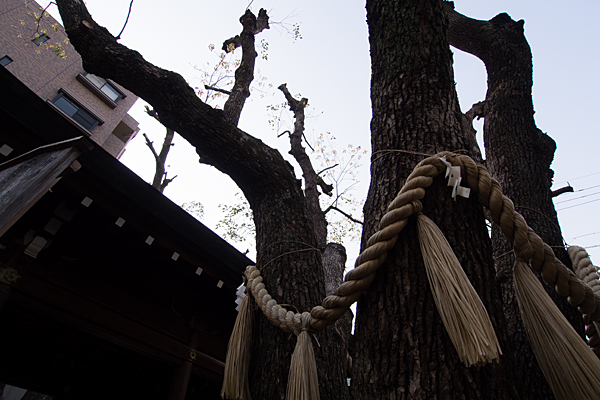 古傳馬神社御神木