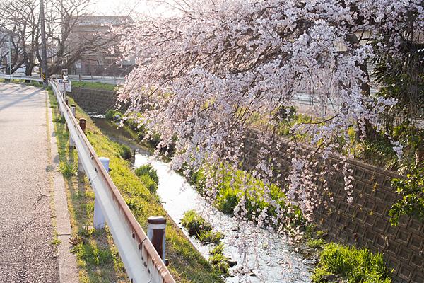 しだれ桜と川の風景