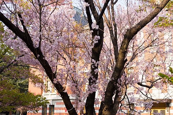 名古屋市市政資料館と桜