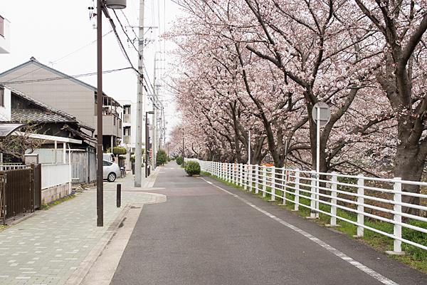 黒川沿いの桜