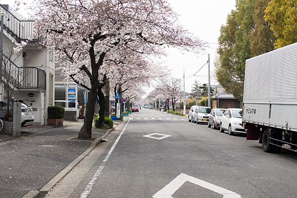 蛇池公園横の桜