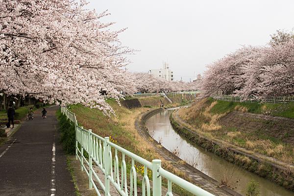 香流川沿いの桜並木